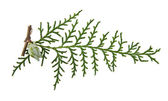 Branch of thuja — Stock Photo