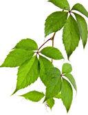 Leaves of vine — Stock Photo