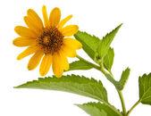 Flor amarilla — Foto de Stock