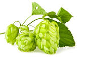 Hop on a white — Stock Photo