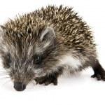 Hedgehog — Stock Photo