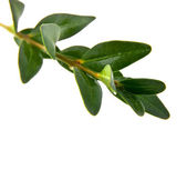 Branch with green leaves — Stock Photo