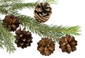 Fir-tree and cone — Stock Photo