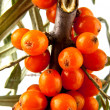 Stockfoto: Sea-buckthorn