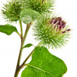 Постер, плакат: Inflorescence of Greater Burdock