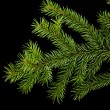 Branch of fir-tree — Stock Photo