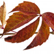 Stock Photo: Autumn leaves of vine