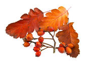 Autumn leaves and wild ash — Stock Photo
