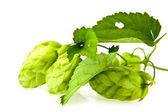 Green Hop — Stock Photo