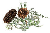 Branch of spruce and pine cone — 图库照片