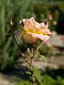 буш желтых роз — Стоковое фото