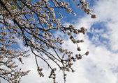 Flowers apricot — Stock Photo