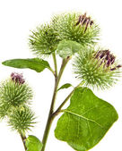 Inflorescence of Greater Burdock — Stock Photo
