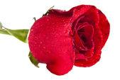 Rose — Foto Stock