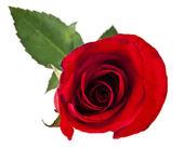 Rose rouge avec des feuilles vertes — Photo