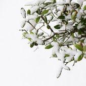 Olive tree in winter — Stock Photo