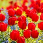 Red tulips — Stock Photo #38051149