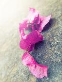 Bouganville rosa foglie — Foto Stock