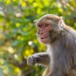Macaque monkey — Stock Photo #39913589