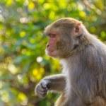 Macaque monkey — Stock Photo #39913651