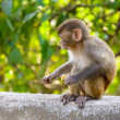 Baby macaque eating an orange — Stock Photo