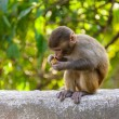 A baby macaque eating an orange — Stock Photo