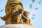 Two macaques on top of chorten — Stock Photo