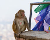 A female macaque on top of wall — Stock Photo