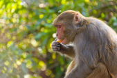 Macaque eating an orange — Stock Photo