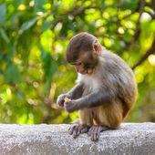 A baby macaque eating an orange — Stock Photo
