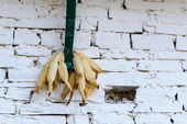 Corn drying — Stock Photo