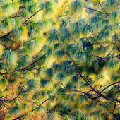 Pine tree texture — Stock Photo