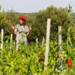 Young woman harvesting red peppers — Stock Photo #44796591