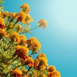Orange french marigolds — Stock Photo #46940093