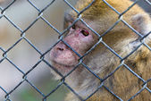 Captive macaque monkey — Stock Photo