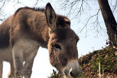 Grey donkey — Stock Photo