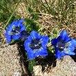 Stock Photo: Blue gentians of Koch