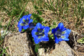 Blue gentians of Koch — Stock Photo