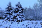 Winter landscape, spruce in a snowy park. — Stock Photo