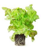 Klíčící zelený salát s kořeny v zemi — 图库照片
