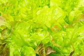 Fresh green lettuce leaves, background macro — Stockfoto