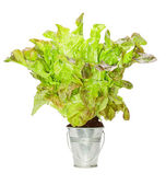 Fresh lettuce sprouted in a small metal bucket. — Stock Photo