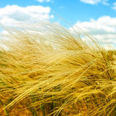 Feather grass in the field, sunny summer day — Stock Photo