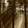 Coniferous forest illuminated by the morning sun on a foggy autu — Stock Photo #23045868
