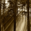 Coniferous forest illuminated by the morning sun on a foggy autu — Stock Photo