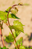 Spring buds sprouting on a grape vine in the vineyard — Stock Photo