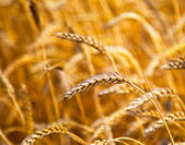 Cultivation of different varieties of wheat, wheat field — Stock Photo