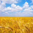 Stock Photo: Ripening ears of wheat field in style of bokeh