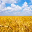 Ripening ears of wheat field in the style of bokeh — Stock Photo