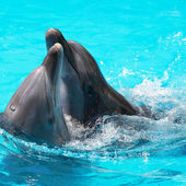 Two dolphins swim in the pool — Foto de Stock